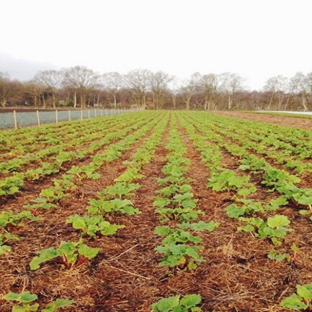 Website rhubarb field