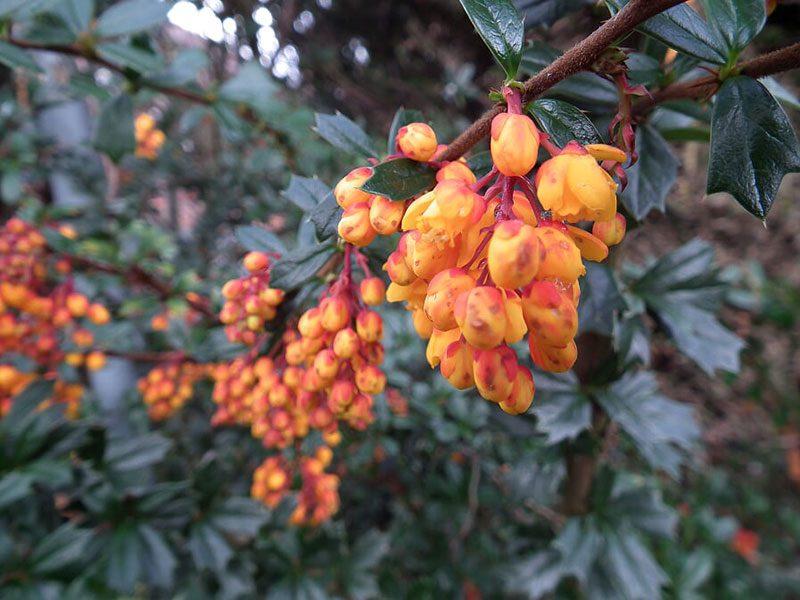 Darwins-barberry-flower-spring