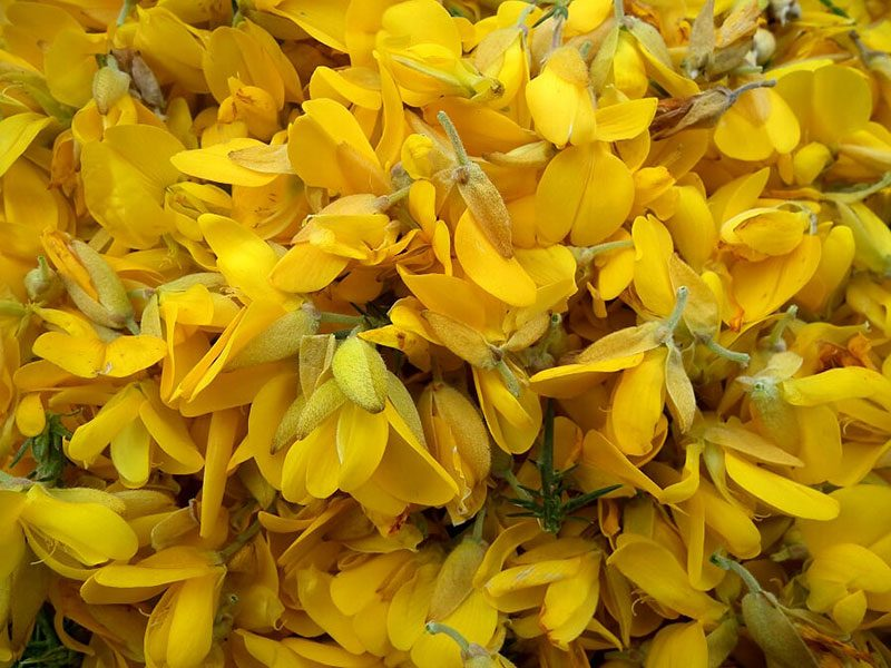 Gorse-Flower-Spring