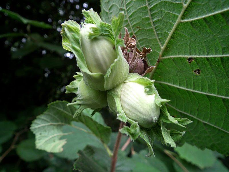 Hazel-Cob-Nuts