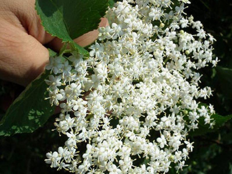 elder-flower