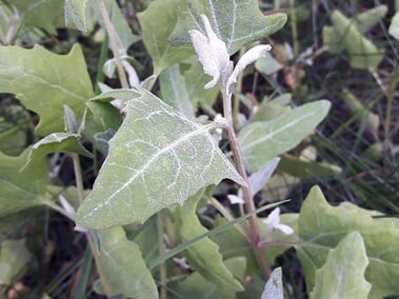 orache-leaves