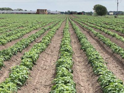 Potatoe Field